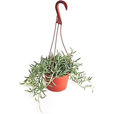 "Shop Succulents | Fancy String of Fishhooks Succulent Plant, Hanging Baskets or Trailing Planters, 6"" Pot, Hand Selected, Ideal for Home Décor or Holiday Events, 6 inch, : Garden & Outdoor"