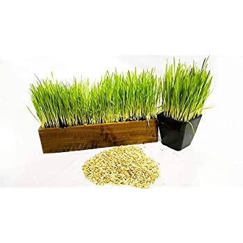 Thunder Acres Cat Grass Blend Barley Wheat Bonus CAT Toy Oats Non-GMO 1 oz and Rye Seed Mix Certified Organic