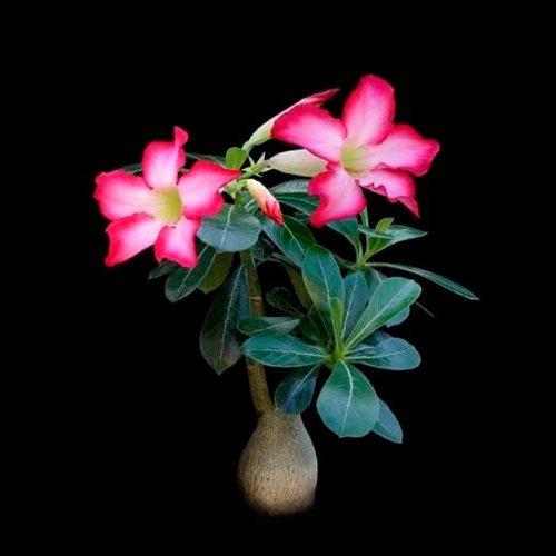 Adenium obesum multiflorum (Desert Rose) seeds - 10 seeds CactusPlaza.com
