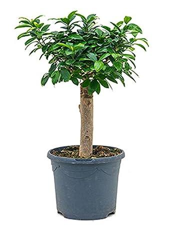 Ginseng Bonsai 40-50 cm im 23 cm Topf kleine Zimmerpflanze für ...