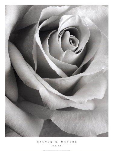 Steven Meyers Rose - 9