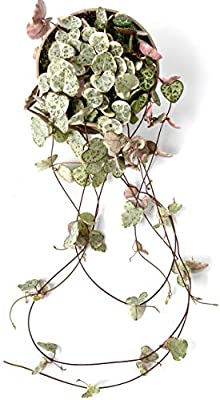 String of Hearts House Plants String of Hearts Money Plant Alocasia Bambino Curly Pilea Peperomioides Tradescantia Zebrina Purple Joy Ceropegia woodii