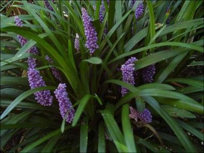 Classy Groundcovers - Liriope muscari 'Royal Purple' (Lily Turf 'Royal Purple', Lilyturf, Border Grass, Monkey Grass) {50 Bare Root plants}