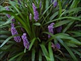 Classy Groundcovers - Liriope muscari 'Royal Purple' {50 Bare Root plants}