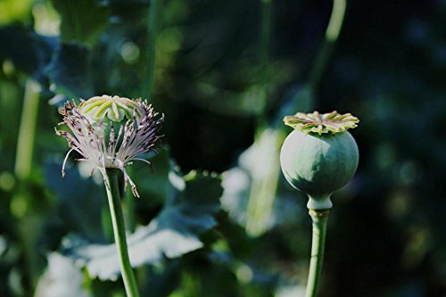 Gifts Delight Laminated 36x24 inches Poster: Poppy Seedpod Green Remnant of Bloom Round Veined Stem Garden