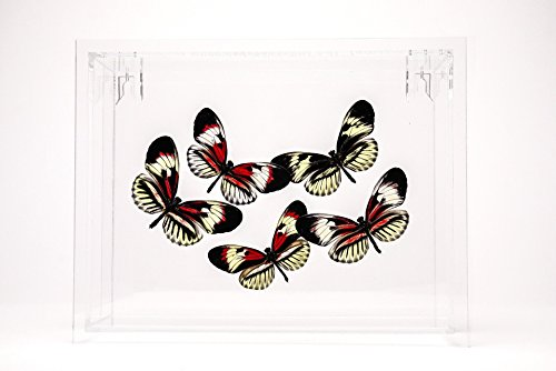Astro Gallery Of Gems Piano Key Butterflies in 6x8 Frame by Astro Gallery Of Gems
