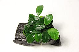 Anubias Nana \'Petite\' on Driftwood - Live Aquarium Freshwater Plants Decorations