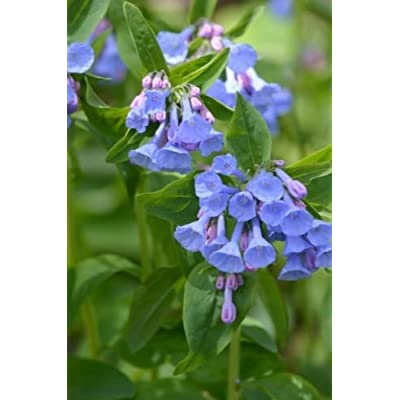 20 Virginia Bluebell Bulbs(Mertensia Virginica) : Garden & Outdoor
