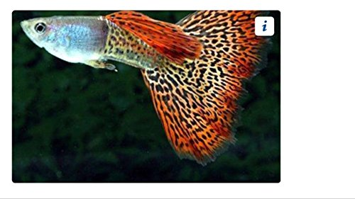Guppy Breeder (Guppy Male Red Cobra - Freshwater Live Freshwater Tropical Aquarium Fish)
