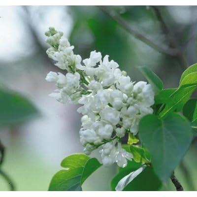 Lilac Common White> Syringa vulgaris alba> Landscape Ready 3 Gallon Container : Garden & Outdoor