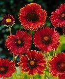 Burgundy Blanket Flower - 50 Seeds, 300 Milligrams - Gaillardia