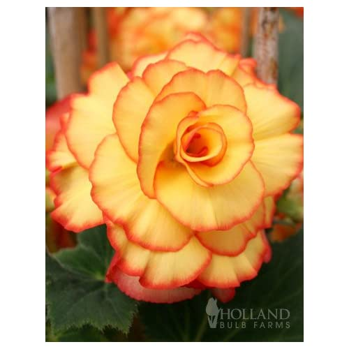 Apricot and Scarlet Picotee Begonia