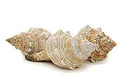 Striped Fox Sea Shell | 3 Striped Fox Co...