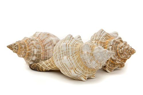 Striped Fox Sea Shell | 3 Striped Fox Conch Sea Shells | 4-5