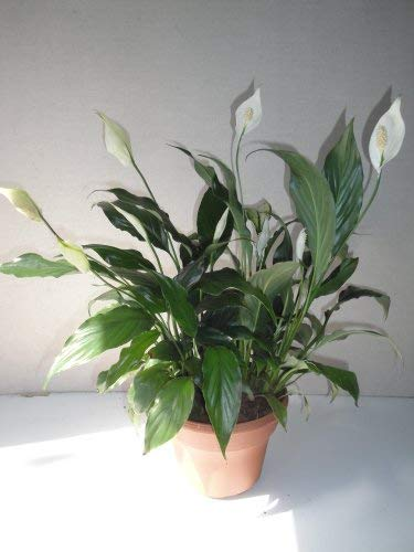 (Big Peace Lily Live Plant Bouquet in a Six Inch Pot with Easy Care Guide and Organic Plant Food)