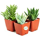 "3 Different Aloe Plants - Easy to grow/Hard to Kill! - 3"" Pots"
