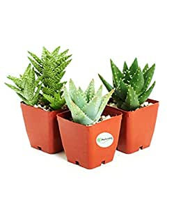"3 Different Aloe Plants - Easy to grow/Hard to Kill! - 3"" Pots"