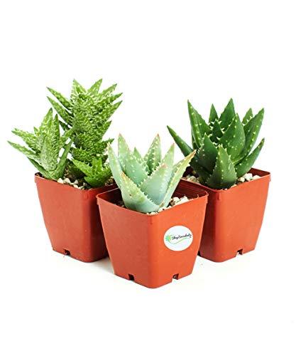 Hirts: 3-HRD-KIL 3 FolieraAloeThree Aloe Plants (Vera Aloe Green Plant)
