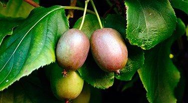 Homegrown Kiwi Seeds, 200, Meader Hardy Kiwi