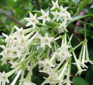 (25) Jasmine Seeds, Most Fragrant Flowers, Cestrum Nocturum Seeds
