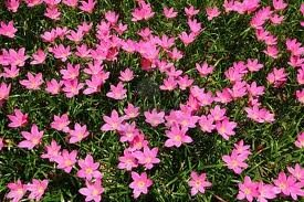 Zephyranthes Pink (Rain Lilies) 3 Bulb Amazing Rare Color!imported From Holland.