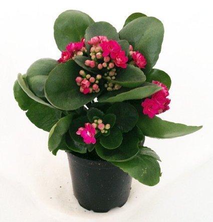 Rosebud Pink Kalanchoe Calandivia 4 Inch Pot From Jmbamboo by JM BAMBOO