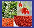 100+ Super Grade Goji Berry Wolfberry Seeds Organic
