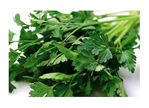 Italian Giant Parsley Seeds, 200+ Premium Heirloom Seeds, Top Selling Parsley Seed & ON SALE!, (Isla's Garden Seeds), Non Gmo Organic, Highest Quality Seeds, 90% Germination Rates, 100% Pure ()