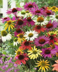 Mixed Variety Coneflower