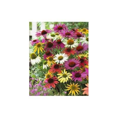 Mixed Variety Coneflower : Garden & Outdoor