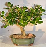 Bonsai Boy's Green Island Ficus Bonsai Tree ficus microcarpa