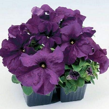 50 Pelleted Limbo Violet Petunia Seeds
