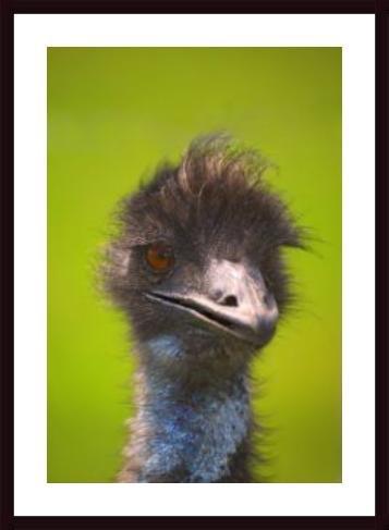 - Ostrich, framed black wood, white matte