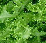 Endive Green Curled Ruffec Great Heirloom Vegetable 8,000 Seeds