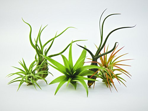 bliss-gardens-5-pack-assorted-tillandsia-air-plants
