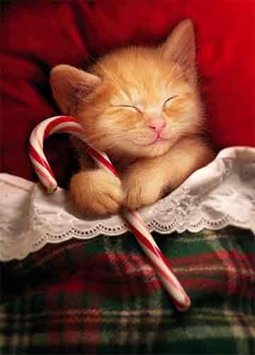Kitten Christmas Cards.Avanti Press Christmas Cards Sweet Kitty Christmas Dreams Count Of 10 701332