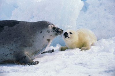 Mother Harp Seal - Harp Seal Mother and Pup Animal Poster Photo 20x30