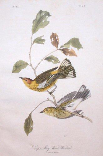 Audubon Octavo Prints - Plate 85 - Cape May Wood Warbler