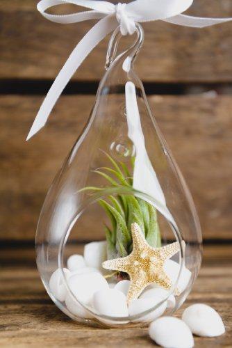 Hinterland Trading White Christmas Ornament Air Plant Teardrop Terrarium Kit White Seashells Glitter Starfish Gift Boxed (Glitter Seashells)