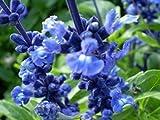 HOT!! - 500 'Blue BEDDER' SAGE Salvia Farinacea Flower Seeds