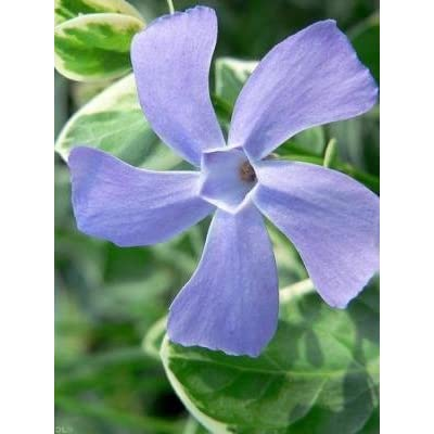 45 Vines Blue Flowers Great Groundcover Vinca Major 'Variegata' Variegated Greater Large Leaf Periwinkle Big Leaf Periwinkle/myrtle : Garden & Outdoor