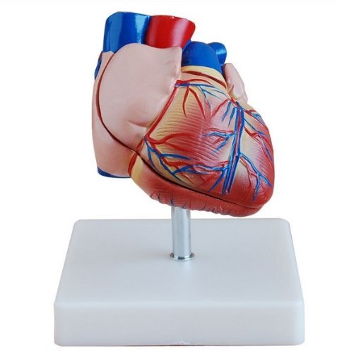 Doc.Royal Human Life Size Heart Simulation Model Medical Anatomy