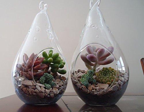 2 Pack Succulent Terrariums-Lg Tear Drop Terrariums W/Plants
