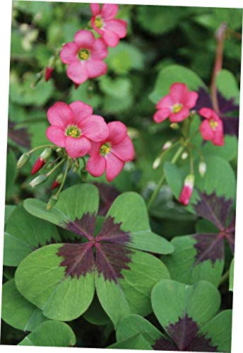 JIYO Perennial 5 Oxalis Iron Cross Bulb Pink Flower Black Green Foliage Summer Bloom - RK134