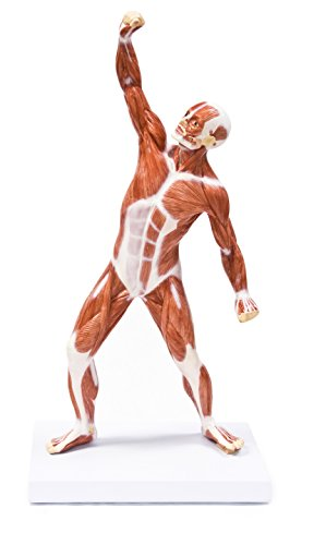 Vision Scientific VAM436 Muscular Figure - 20 inch Model
