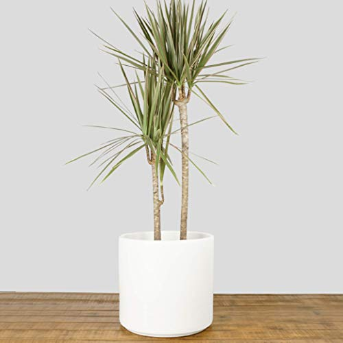 Indoor Flower Pot | Large Modern Planter, Terracotta Ceramic Plant Pot - Plant Container Great for Plant Stands (10.5 inch, White) by Peach & Pebble (Image #2)