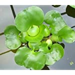3 Water Lettuce + 3 Water Hyancinth Bundle + Parrot Feather - Floating Live Pond Plants 6