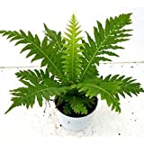 Cappl Air Purifying Fern Plant With Pot, Fertilizer And Plate (Green)