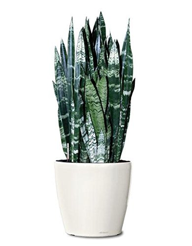 Snake Plant Black Coral, 6'' by Garden Goods Direct