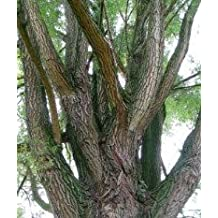 Willow Bark White, Cut&Sifted - Wildcrafted - Salix alba (454g = One Pound) Brand: Herbies Herbs